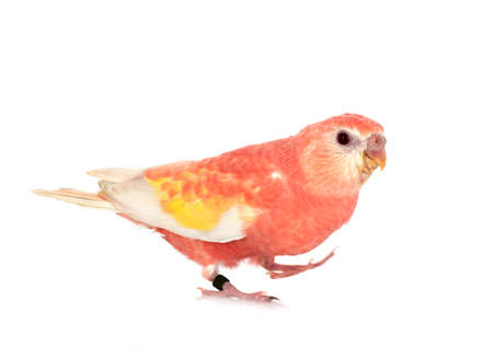 Bourke parrot in front of white background