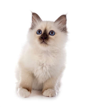 birman kitten in front of white background Banque d'images