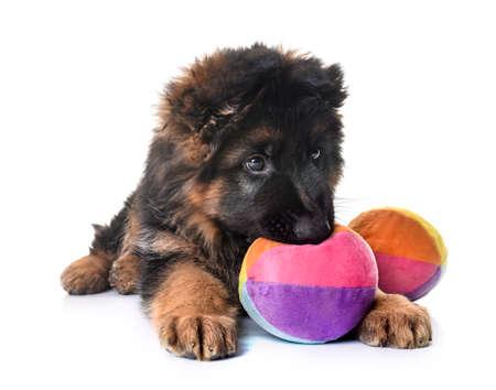 puppy german shepherd in front of white background Foto de archivo
