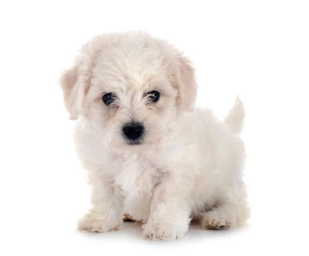 young Bichon Frize in front of white background
