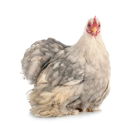 Pekin Bantam in front of white background