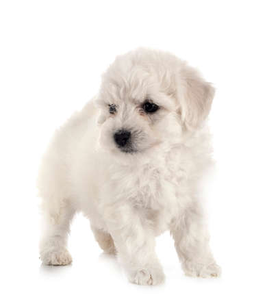 young Bichon Frize in front of white background Standard-Bild