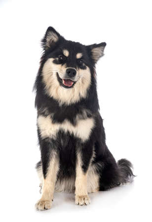 Finnish Lapphund in front of white background Stock Photo