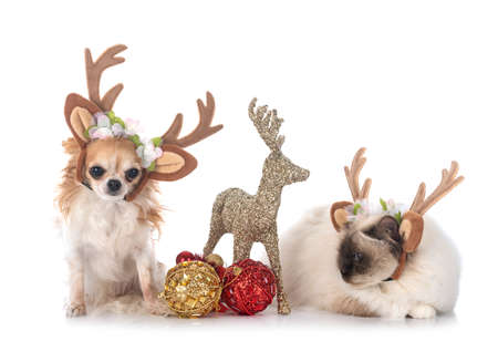 birman cat and chihuahua in front of white background