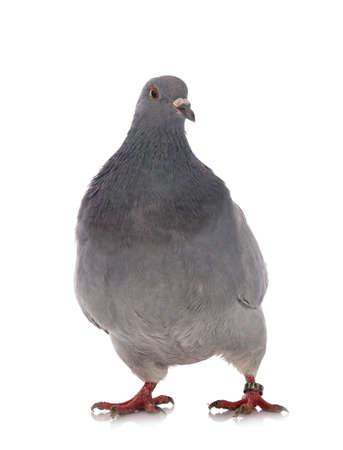 texan pigeon in front of white background Stock Photo