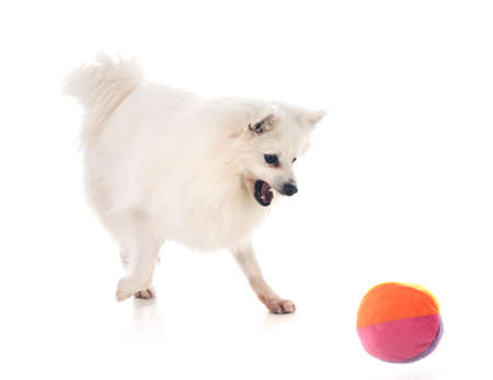 Japanese Spitz in front of white background