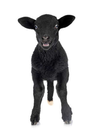 young lamb in front of white background