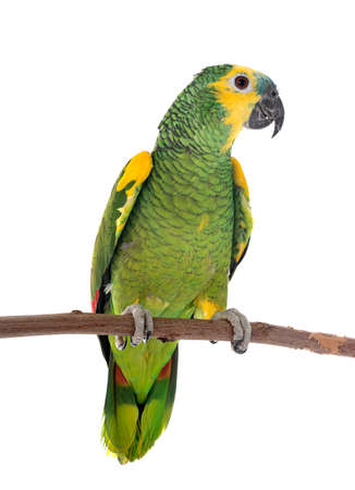 Turquoise-fronted amazon in front of white background