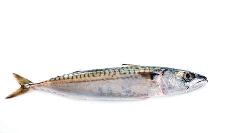 Mackerel fish in front of white background Foto de archivo