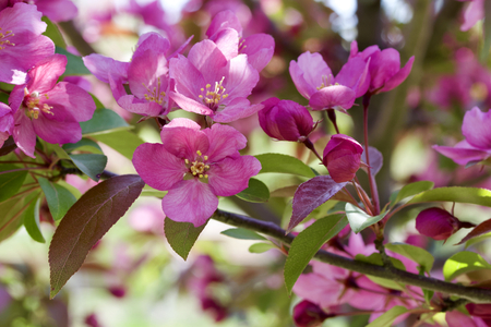 Macro abstract background view of beautiful rosy pink ornamental crabapple tree blossoms in full bloom