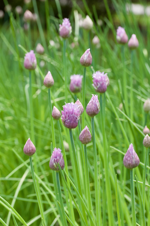 Close up view of blossoming chive herb flowers
