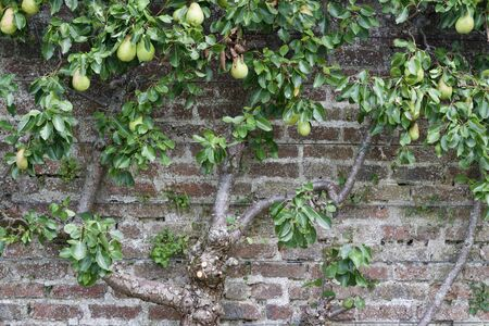 Attractive espalier pear tree growing on an antique European stone wall Stock Photo
