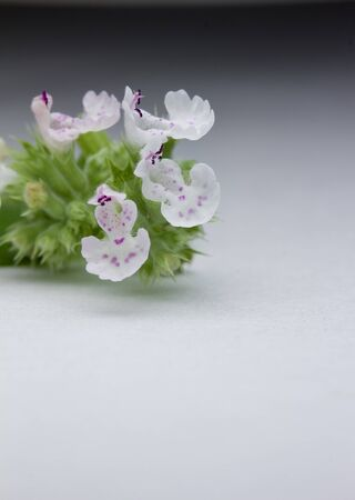 Macro view of unique tiny pink and purple catnip flowers (nepeta cataria) with copy space
