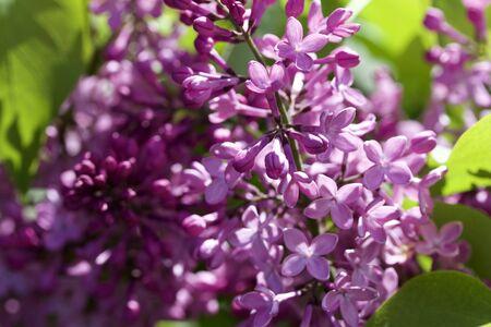 Nahaufnahme von frischen neuen angehenden persischen lila Blumen
