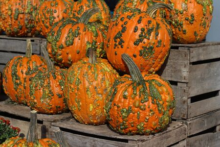 Colorful warty textured orange and green Halloween pumpkins