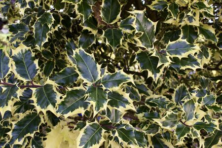 Close up texture background of variegated European holly bush leaves with striking foliage 版權商用圖片