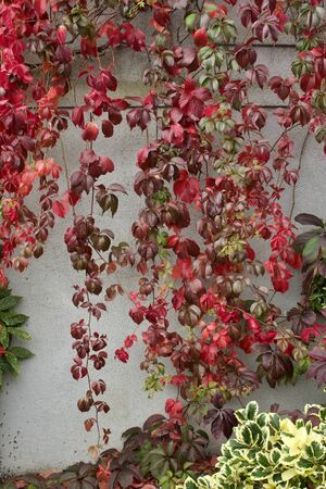 Close up texture of autumn red Virginia creeper vines (parthenocissus) on a white stucco wall background