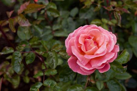 Macro view of a beautiful pink floribunda rose flower with defocused green foliage background Banco de Imagens
