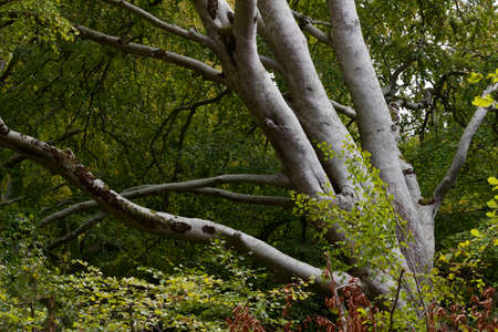 Abstract landscape view of a mature white bark tree in an excluded woodland setting in Europe Banco de Imagens