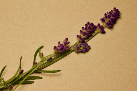 Macro abstract view of isolate sprigs of purple lavender blossom stems on recycled paper background, with copy space