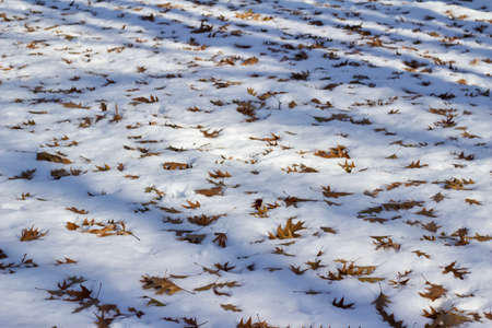 Abstract texture background of winter dry brown oak leaves fallen onto a ground of white snow