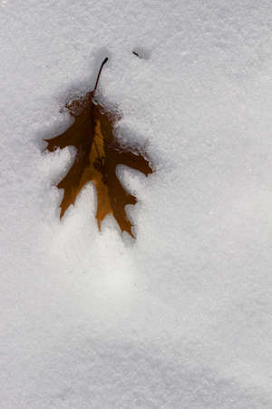 Close up abstract view of a single dry brown oak leaf imbedded into a surface of snow texture in winter Reklamní fotografie