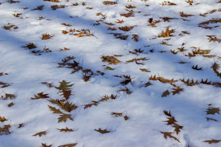 Abstract texture background of winter dry brown oak leaves fallen onto a ground of white snow Reklamní fotografie - 150888675