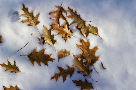 Abstract texture background of winter dry brown oak leaves fallen onto a ground of white snow Reklamní fotografie - 150889122