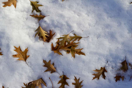 Abstract texture background of fallen dry brown oak leaves on a snow covered ground Reklamní fotografie