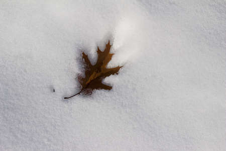 Close up abstract view of a solitary dry brown oak leaf embedded into the surface of white snow on a sunny winter day Reklamní fotografie