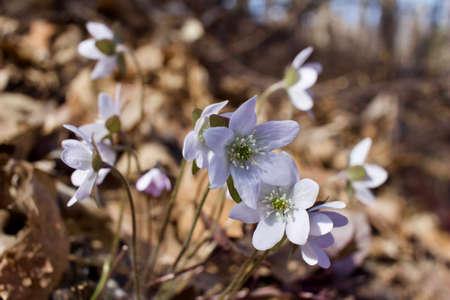 Macro view of newly blooming hepatica wildflowers in their native woodland habitat