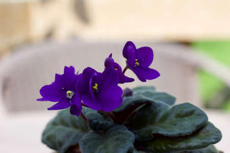 Close up view of a small potted purple African violet plant with defocused background