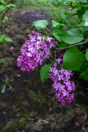 Close up view of fresh blooming Persian lilacs with defocused background