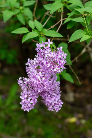Macro texture view of beautiful purple Chinese lilac bouquets blooming in spring in an outdoor garden