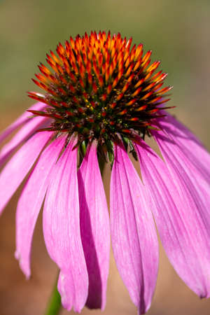 Macro view of a beautiful single purple coneflower blossom in a sunny botanical garden with defocused background