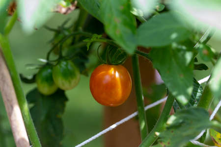 Macro view of a single ripe red cherry tomato on a tomato plant in a sunny outdoor vegetable garden