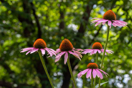 Close up view of bright purple coneflowers blooming in a sunny botanical garden with defocused background Reklamní fotografie