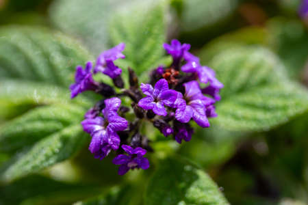 Macro view of tiny purple flower blossoms on a heliotrope (heliotropium arborescens) flowering plant in a sunny outdoor garden Reklamní fotografie