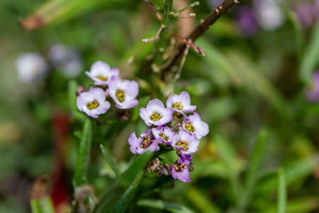 Macro view of tiny purple flower blossoms on a sweet alyssum plant in a sunny outdoor garden with defocused background Reklamní fotografie
