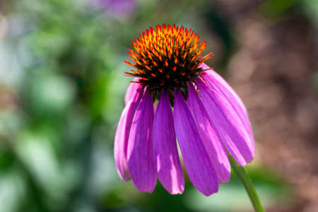 Macro view of a single purple coneflower blossom in a sunny botanical garden