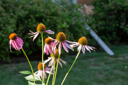 Close up view of bright purple coneflower blossoms blooming in a sunny botanical garden