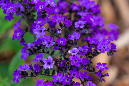 Macro view of tiny purple flower blossoms on an ornamental heliotrope plant in a sunny defocused garden setting