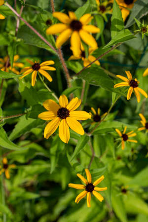 Close up view of uncultivated yellow brown-eyed Susan (rudbeckia triloba) wildflowers blooming in a prairie meadow