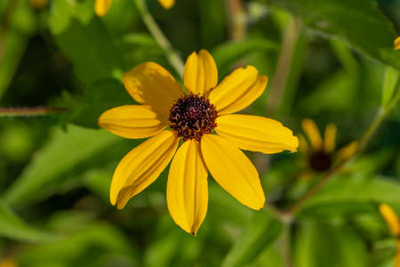 Macro view of an uncultivated yellow brown-eyed Susan (rudbeckia triloba) wildflower blooming in a prairie meadow Reklamní fotografie