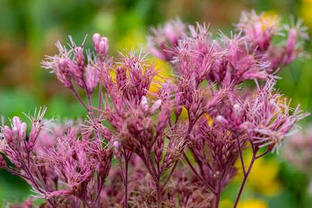 Close up view of rose color Joe-Pye weed (eutrochium purpureum) flowers growing wild in a North American prairie meadow Reklamní fotografie