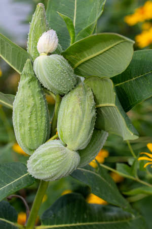 Close up view of developing seed pods on a common milkweed plant (asclepias) growing wild in a North American prairie meadow