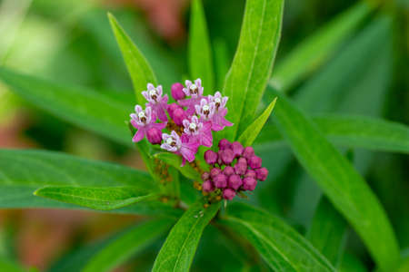 Close up view of ros pink color swamp milk weed (asclepias incarnata) flowers growing wild in a North American prairie meadow