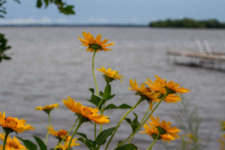 Close up view of golden yellow Smooth Oxeye wildflowers blooming along a lake shore. Also called Ox-eye, False Sunflower or Heliopsis.