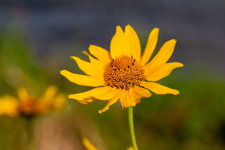 Close up view of golden yellow Smooth Oxeye wildflowers blooming in a prairie meadow. Also called Ox-eye, False Sunflower or Heliopsis.