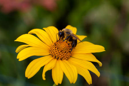 Close up view of a honeybee on a golden yellow Smooth Oxeye wildflower blooming along a lake shore. Also called Ox-eye, False Sunflower or Heliopsis.